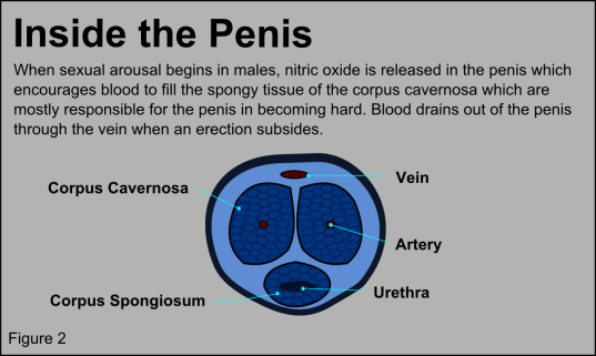 D and P penis cross section